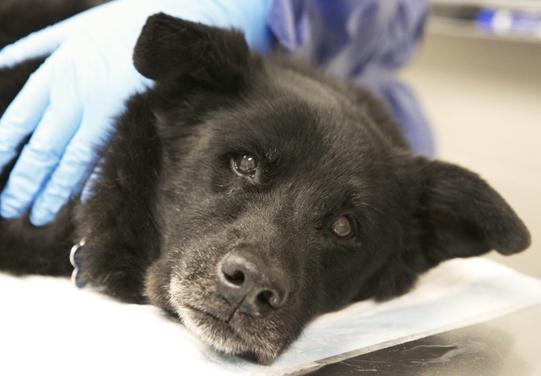 Canine cancer survivors still enjoy life - WCVM Today