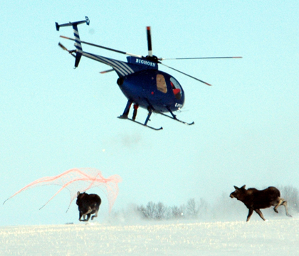 researchers net moose