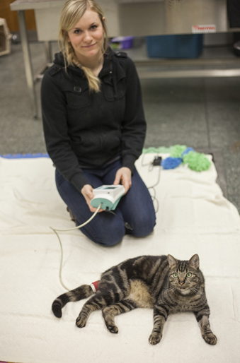 Graduate student Jennifer Briens demonstrates how she collect blood pressure readings from the study's cats. Photos: Christina Weese.
