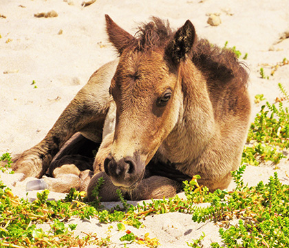 A foal rests on the beach of Sable Island. Photo by Amber Backwell.