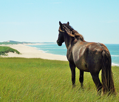 A wild Sable Island horse looks over its territory. Photo by Amber Backwell.