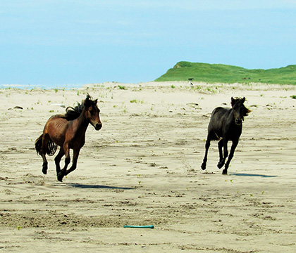 Two young horses play on the beach. Photo by Amber Backwell.