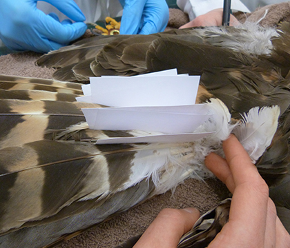 A close-up taken during Bolt's tail feather transplant. Photo courtesy of Dr. Miranda Sadar.